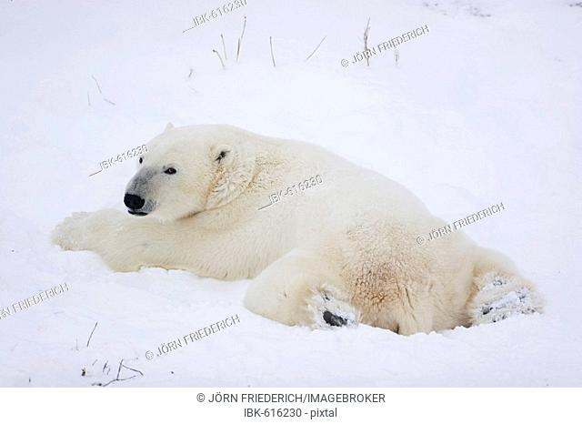 Polar Bear (Ursus maritimus) stretched out on its stomach laying in the snow, Churchill, Manitoba, Canada