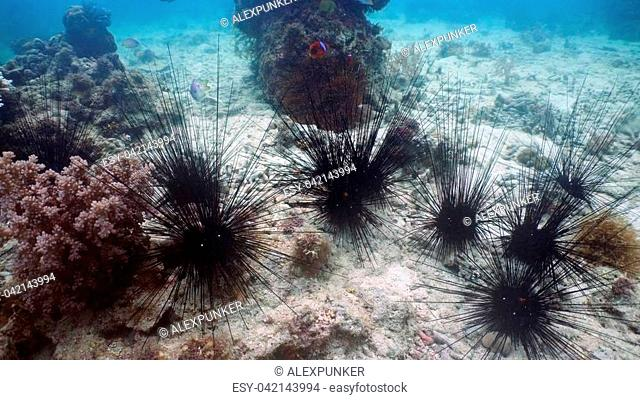 Black sea urchin under water among coral. Wonderful and beautiful underwater world with corals and tropical fish. Diving and snorkeling in the tropical sea