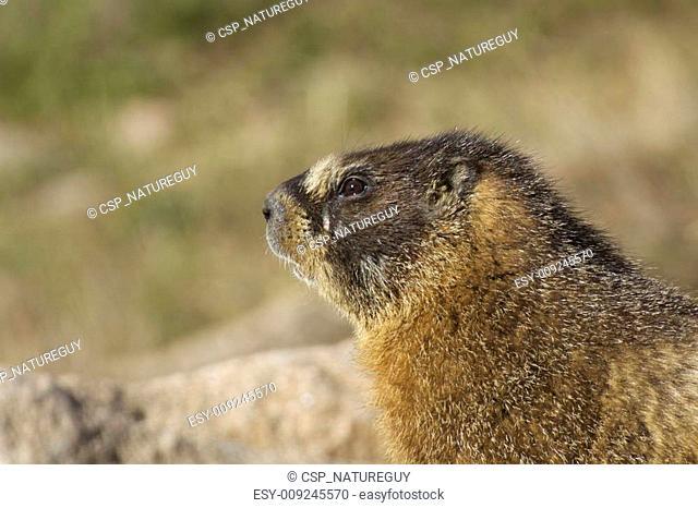 Yellow-bellied Marmot Portrait