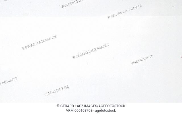 Golden Fish, carassius auratus, Swimming against white background, slow motion