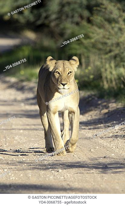 African lion (Panthera leo)-Female, in the gravel road, Kgalagadi Transfrontier Park, Kalahari desert, South Africa/Botswana
