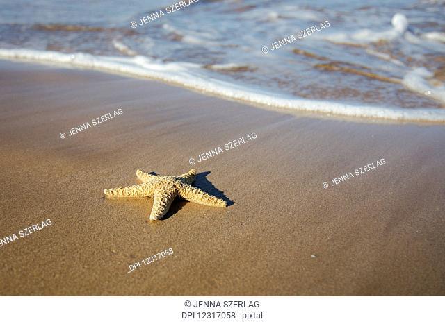 Sea Star Washes Ashore On A Beach; Maui, Hawaii, United States of America