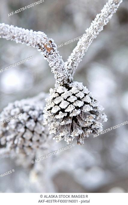 Close-Up of frosted pine cones winter