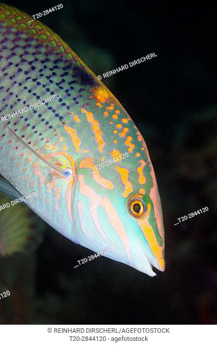 Checkerboard Wrasse, Halichoeres hortulans, South Male Atoll, Maldives