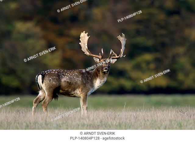 Fallow deer (Dama dama) buck in grassland at forest's edge during the rut in autumn