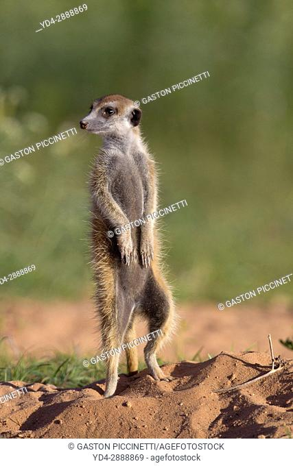 Suricate (Suricata suricatta). Always alert to the possible attack of a predator. While watching the rest of the group is dedicated to hunt all kinds of insects