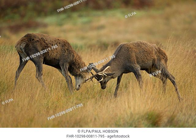 Red Deer Cervus elaphus two immature stags, fighting, during rutting season, Bradgate Park, Leicestershire, England, november