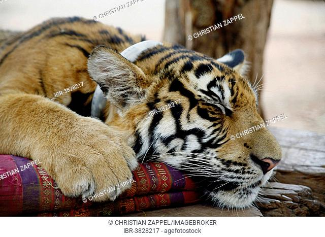 Tiger Temple or Wat Pa Luangta Bua, Indochinese Tiger (Panthera tigris corbetti) with a cushion, Kanchanaburi, Thailand