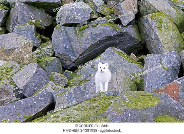 Norway, Svalbard, Spitsbergen, Hinlopenstretet, bird colony of Alkefjellet, Rocks, Arctic Fox or Polar Fox (Vulpes lagopus; formely Alopex lagopus)