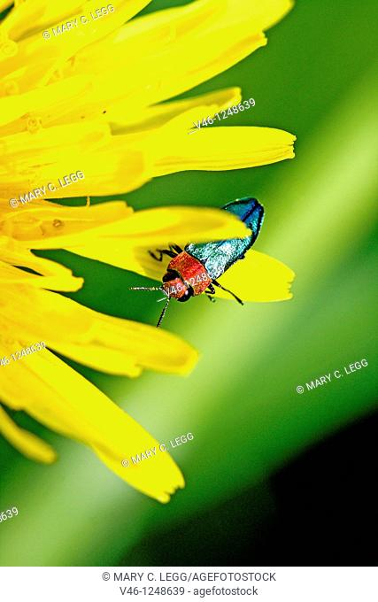 Anthaxia nitidula, ruby-headed jewel beetle on Dandelion  A jewel beetle perches on the extremity of a dandelion petal  Very close detail  Partial cut of...