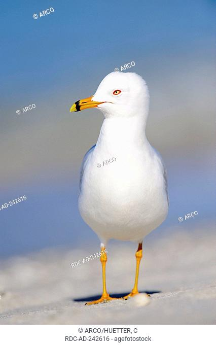 Ring-billed Gull Sanibel Island Florida USA Larus delawarensis