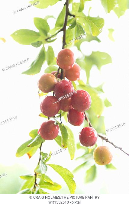 Fresh plums on a tree