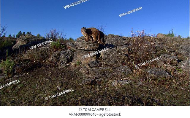 Juvenile Mountain lion Felis concolor pair on rocks. Northern Montana, USA