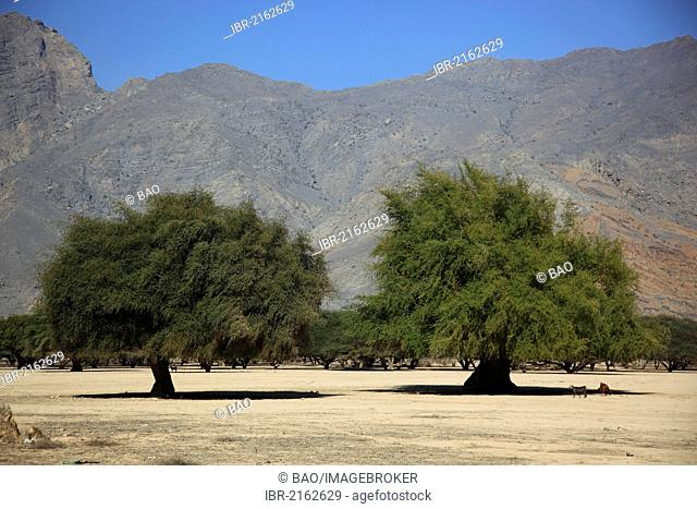 Landscape of Wadi Sal al-A'la, acacia woodland, in the Omani enclave of Musandam, Oman, Middle East, Asia