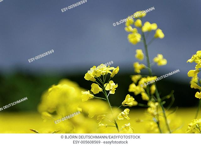 Field of full of rapeseed (Brassica napus) in Schleswig-Holstein