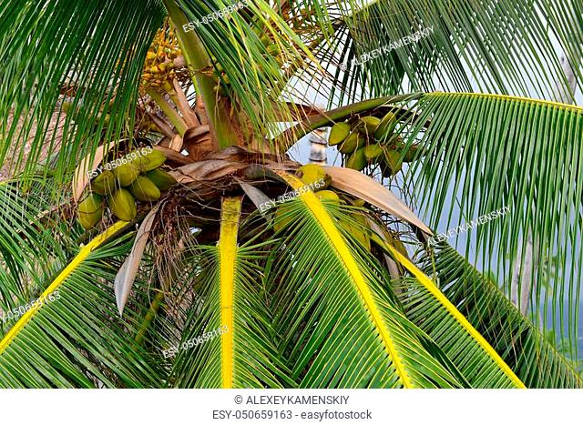 Coconut palm tree with coconuts view from the bottom