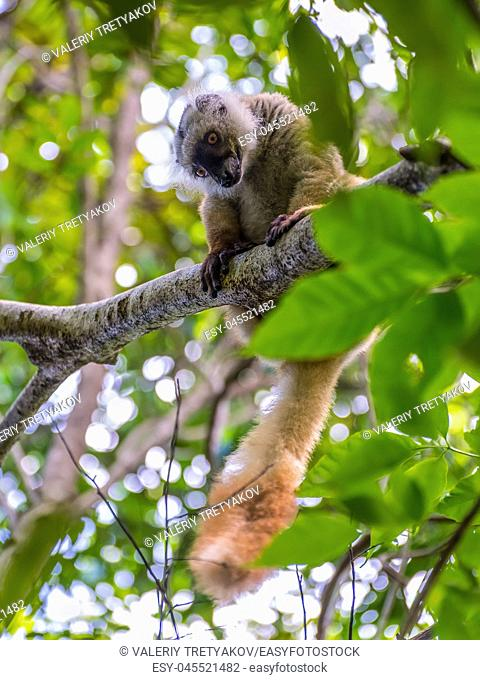 Close up portrait of lemur gaze on Lokobe Strict Nature Reserve in Nosy Be, Madagascar, Africa