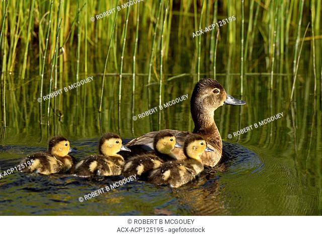 A Blue-winged Teal Duck (Anas discors), swimming with her brood of young ducklings at the beaver boardwalk in Hinton Alberta Canada