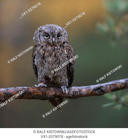 Scops Owl / Zwergohreule ( Otus scops ), perched on a branch of a pine tree, nice clean background, funny little bird, Europe