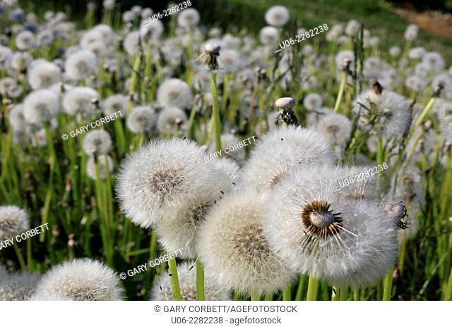 A field of dandelion seed heads or blowballs