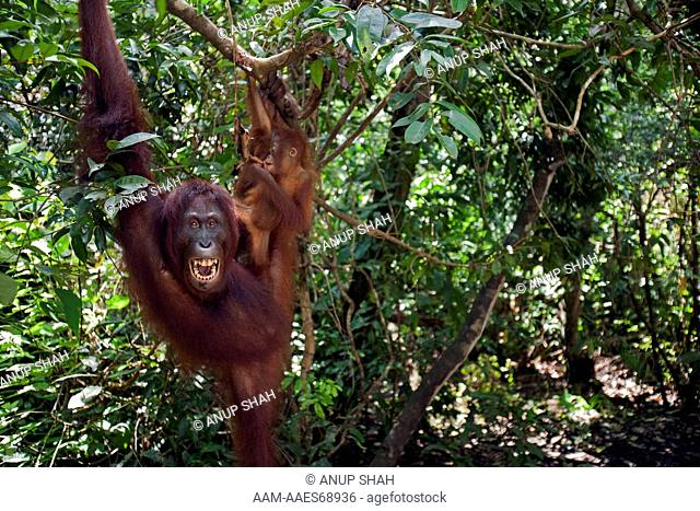 Bornean Orangutan female 'Peta' and her daughter 'Petra' aged 12 months hanging from a tree branch - wide angle perspective (Pongo pygmaeus wurmbii)