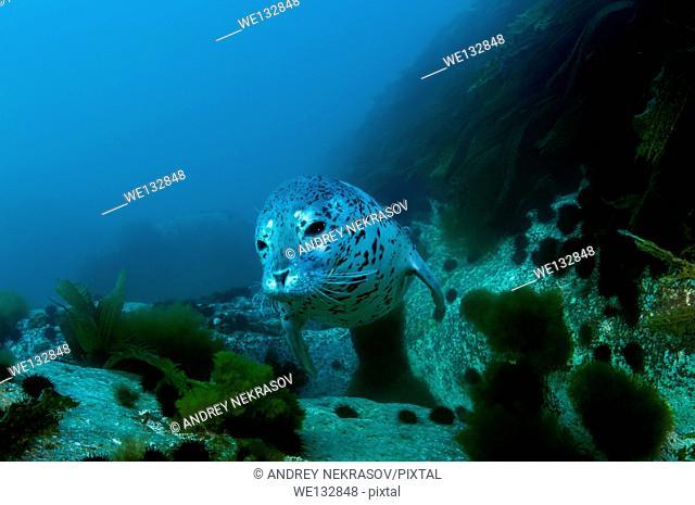 Spotted seal, larga or largha seal (Phoca largha, Phoca vitulina largha), Islands Verkhovskogo, Peter the Great Gulf, Sea of Japan, Far East, Vladivostok