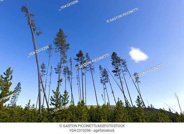 Lodgepole Pine and Shore pine, (Pinus contorta), Yellowstone National Park, Wyoming, USA