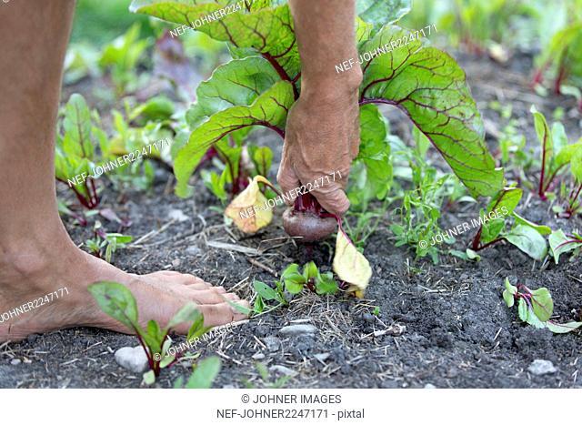 Man picking beetroot