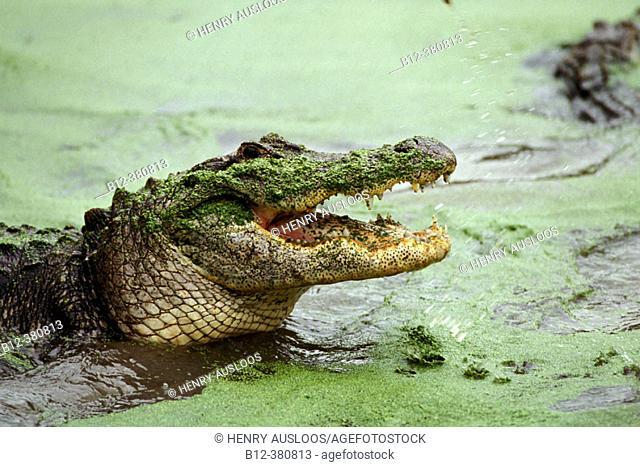 Alligator (Alligator mississipiensis). Open mouth. Florida. USA