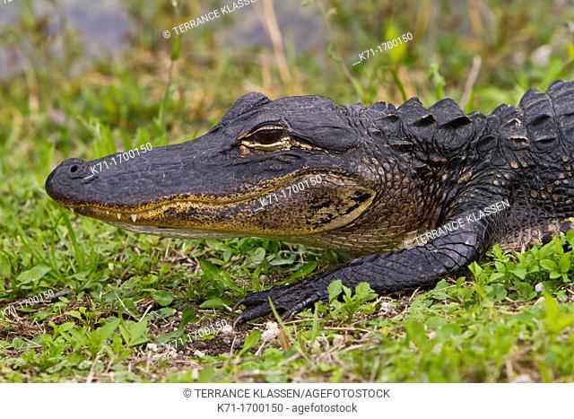 Closeup of the American alligator in the Everglades National Park, Florida, USA