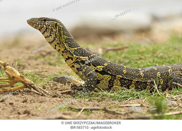 Monitor lizard (Varanus niloticus), Big monitor lizard at the Olare Orok River, Massai Mara, Kenya