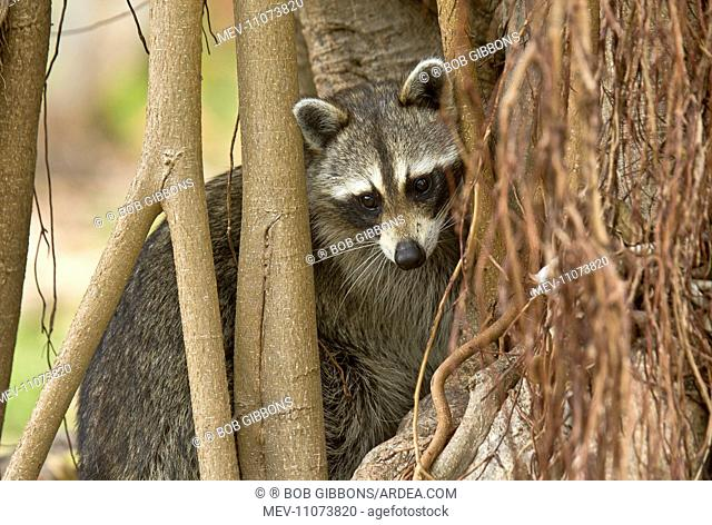 Raccoon / Racoon searching for food among tree roots Everglades, Florida, USA
