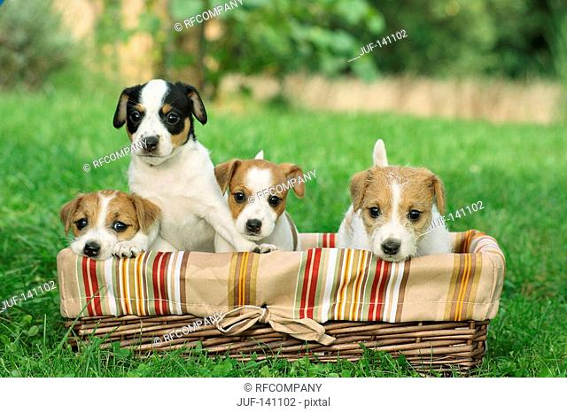 Jack Russell Terrier - four puppies in basket