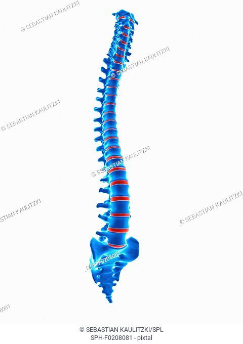Human spinal vertebrae, illustration