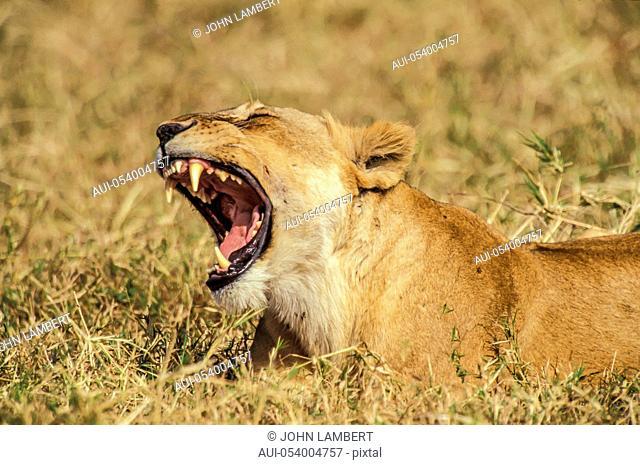 roaring lioness, africa, tanzania