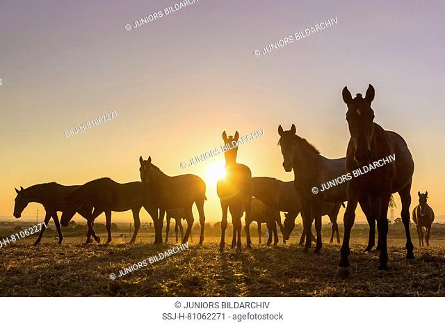 Pure Spanish Horse, Andalusian. Herd of juvenile mares standing on a pasture, silhouetted against the setting sun. Spain