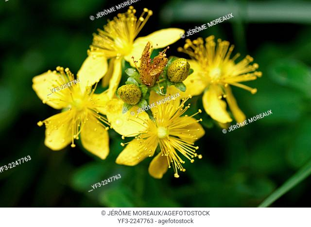 St John's-wort, Spotted St. John's-wort, Hypericum maculatum, blooming