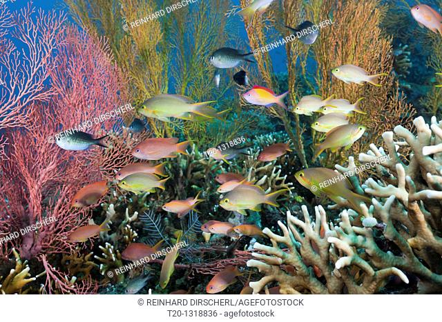 Anthias in Coral Reef, Pseudanthias squamipinnis, Pseudanthias huchtii, Amed, Bali, Indonesia