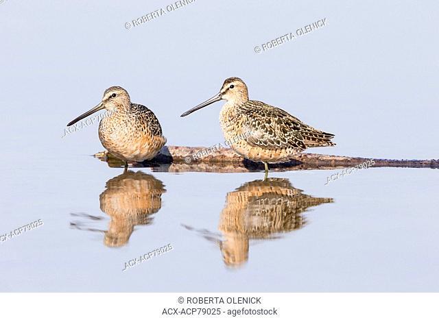 Dowitcher (Limnodromus sp.), Burnaby Lake, Burnaby, British Columbia