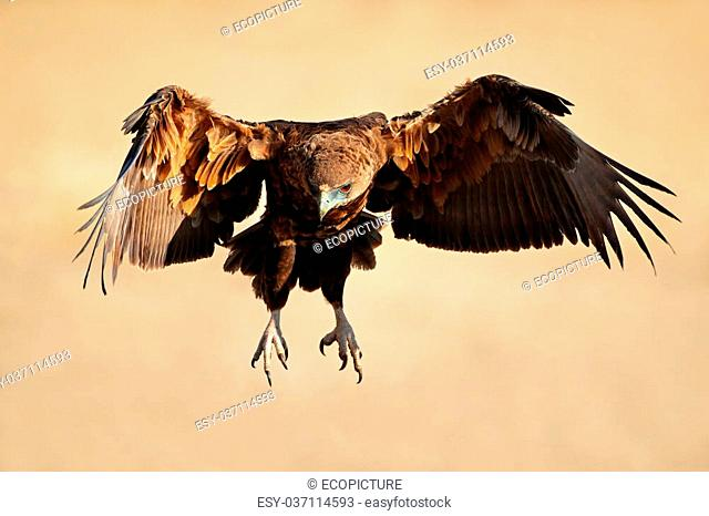 Immature Bateleur eagle (Terathopius ecaudatus) in flight, South Africa