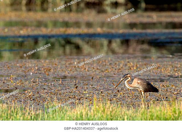 Purple Heron, Ardea purpurea, eating, fish, 31/05/2009