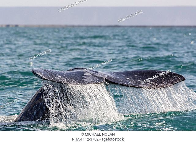 Adult California gray whale (Eschritius robustus) flukes-up dive in San Ignacio Lagoon, Baja California Sur, Mexico, North America