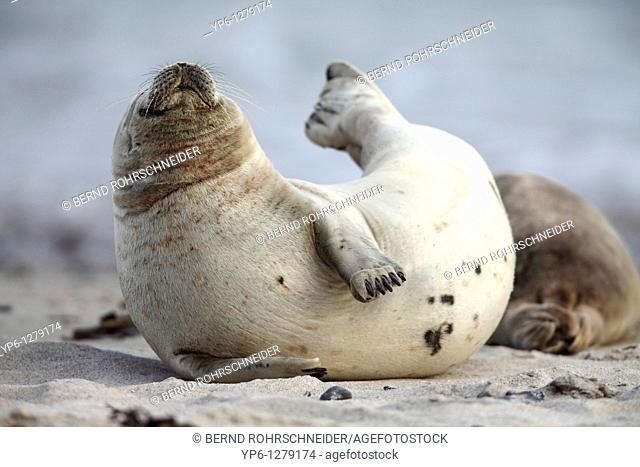 Common Seal, Phoca vitulina, lying on beach and stretching, Heligoland, Germany