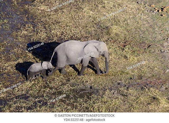 African Elephant (Loxodonta africana), in the floodplain, aerial view. Okavango Delta, Moremi Game Reserve, Botswana. The Okavango Delta is home to a rich array...