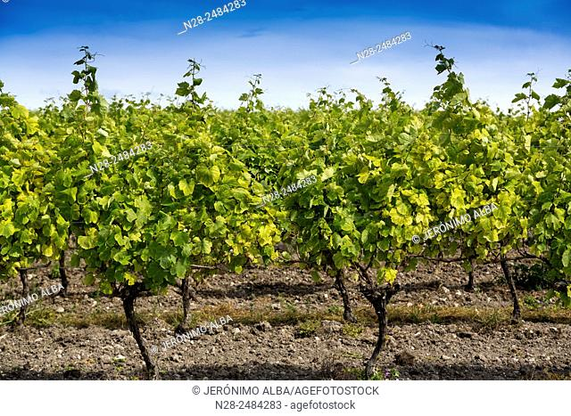 Vineyard, Talmont sur Gironde, Charente-Maritime, France, Europe