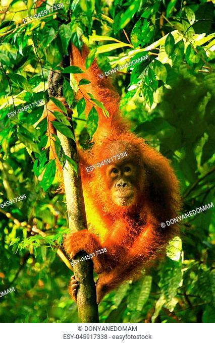 Young Sumatran orangutan (Pongo abelii) sitting on trees in Gunung Leuser National Park, Sumatra, Indonesia. Sumatran orangutan is endemic to the north of...