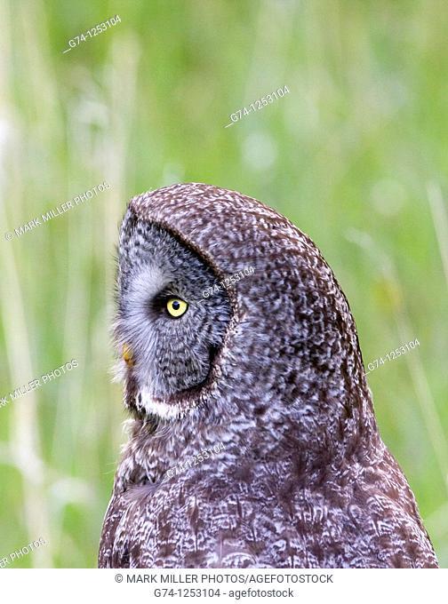 Great Grey Owl profile, Yellowstone National Park, USA