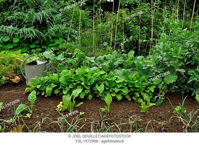 "In a corner of the vegetable garden, in june, a watering can and allotments : of batavia lettuce 'Rouge grenobloise' turnips """"Rave d'Auvergne hâtive""""..."