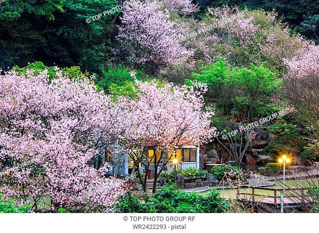 SanzhiSakura fam Yoshino Sakura