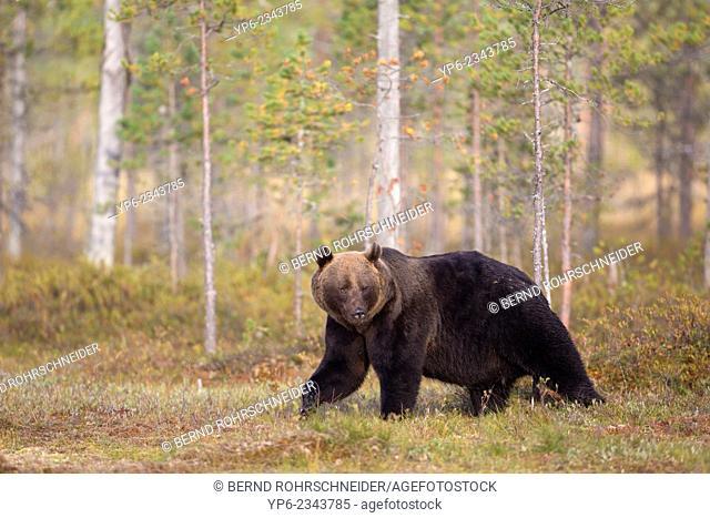 Brown Bear (Ursus arctos) in forest, Kainuu, Finland